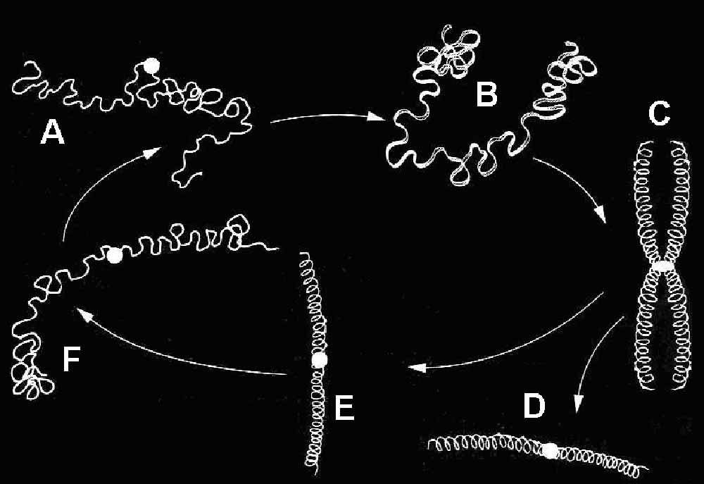 biologia2bachcamp: NÚCLEO INTERFÁSICO Y CICLO CELULAR