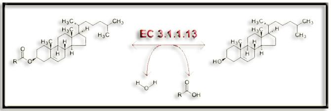 enzima lipază de ardere a grăsimilor