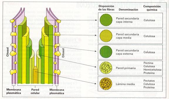 Biologíasur 2 3 2 Pared Celular En Células Vegetales