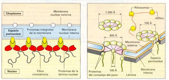 Biologíasur 2 3 5 Núcleo Envoltura Nuclear Nucleoplasma