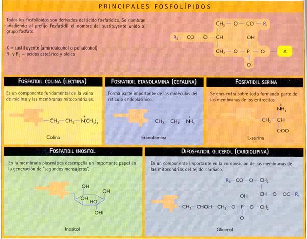 Biologíasur 1 4 3 Triacilglicéridos Y Fosfolípidos